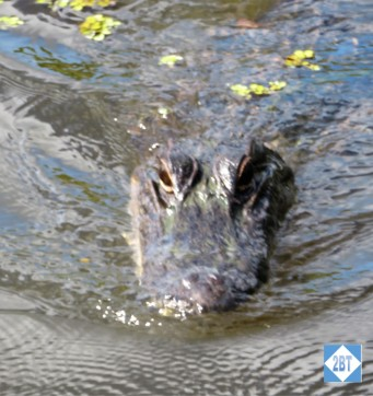 AA Gator Even Closer