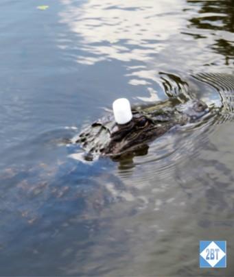 AA Marshmellow Gator 2